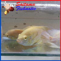 Harga ikan hias air tawar oscar albino aquascape aquarium garansi | antitipu.com