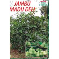 Tanaman Jambu Air madu deli drum