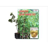 Tanaman Srikaya New Varietas