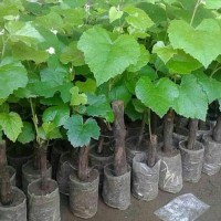 Harga Bibit Anggur Merah Import Katalog.or.id