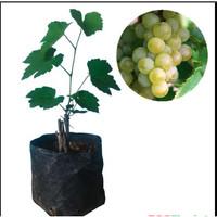 Tanaman Anggur Hijau
