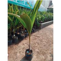 Tanaman buah kelapa hibrida