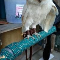 angklet celepuk/tali burung celepuk /burung hantu celepuk