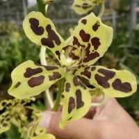 (KNOP) Grammatophyllum scriptum - anggrek macan