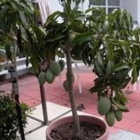 BIBIT MANGGA tanaman buah dalam pot TABULAMPOT 2 bibit