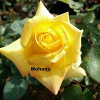 Bibit Mawar Holland Mohana