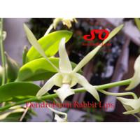 Dendrobium Rabbit LIps