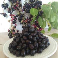Bibit tanaman buah jamblang hitam 1 meter UP - JUWET JAVA PLUM