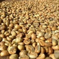 biji kopi green bean red honey robusta lampung barat