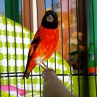 Paling Keren 19 Gambar Burung Red Siskin Gani Gambar