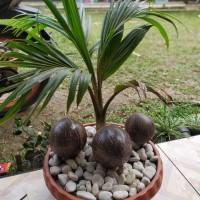 Jual Pohon Bonsai Kelapa Kab Bogor Maq Landscape Tokopedia