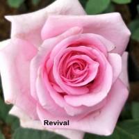 Bibit Mawar Holland Revival