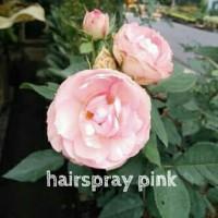 Bibit Mawar Hairspray Pink