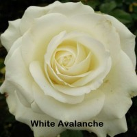 Bibit Mawar Holland White Avalanche