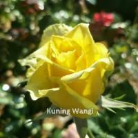 Bibit Mawar Kuning Wangi