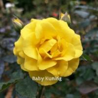 Bibit Mawar Baby Kuning