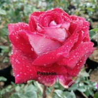 Bibit Mawar Holland Passion
