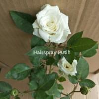 Bibit Mawar Hairspray Putih