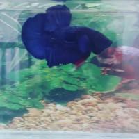 Jual Ikan Cupang Avatar Black Blue Kota Samarinda Betta Borneo Tokopedia