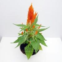 Tanaman Hias Celosia Orange