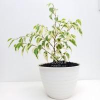 Tanaman Hias Beringin Putih (Ficus Benjamina)