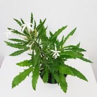 Tanaman Hias Herba Kitolod / Korejat - Obat Mata