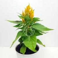 Tanaman Hias Celosia Kuning