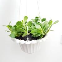 Tanaman Hias Gantung Jade / Crassula Ovata