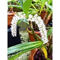 Eria bogoriensis