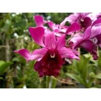 Dendrobium Indonesia Raya var Red (dewasa)