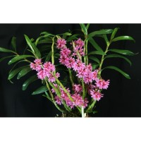 Dendrobium purpureum