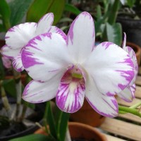 Dendrobium enobi DEWASA / PASCA BUNGA