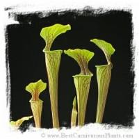 Sarracenia Oreophila / Benih Tanaman Karnivora / Carnivorous Plant See