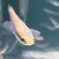 Harga Ikan Channa Yellow Maru Marulioides