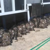 Oyster Shell Kulit Kerang Media Filter Kolam Koi