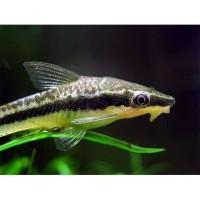 Ottocinclus Affinis / Ikan Ottocinclus / Algae Eater