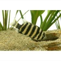 Jual Ikan Hias Zebra Tilapia Ninety Nine Kab Bogor Rumah