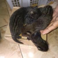 Jual Burung Hantu Oriental Bay Owl Hanya Burung Jakarta