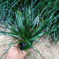 Jual Tanaman Hias Kucai Gondrong Rumput Kucai Pohon Kucai Gondrong Rumput Kab Bogor Karya Alam Taman Tokopedia