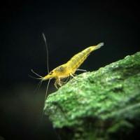 Yellow Shrimp / Udang Hias Kuning Aquascape