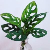 Jual tanaman indoor janda bolong - tanaman hias monstera