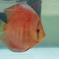 ikan discus 4.5 inch discus san merah 4,5 inch
