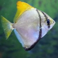 ikan mono ikan mono argenteus size besar