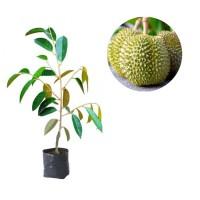 Jual Bibit Tanaman Buah Durian D24 Malaysia 90 Cm - Kota Kediri