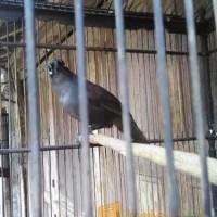 Jual Burung Poksay Mantel Bahan Kota Tangerang Kios Alsha Tokopedia