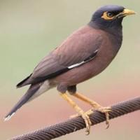 Jual Burung Jalak Nias Bahan Kota Tangerang Kios Alsha Tokopedia
