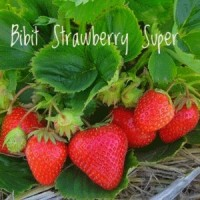 TANAMAN BUAH STRAWBERRY SUPER JUMBO CALIFORNIA BIBIT STELLA