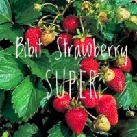 TANAMAN BUAH STRAWBERRY SUPER JUMBO CALIFORNIA BIBIT STELLA MINIMAL 4