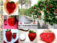 Bibit / Benih / Seeds Fruit Strawberry Giant Biji Buah Strawberi
