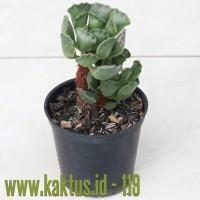 Kaktus Sukulen | 119. Adromischus Poellnitzianus